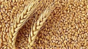 صورة وزير التموين: استلام 2.1 مليون طن قمح من المزارعين حتى الآن