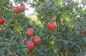 صورة الادارة المتكاملة لزراعة الزيتون والرمان